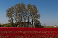 Typical Dutch view of the flat landscape near Amsterdam. Red field of Tulips with in the background a small shed, a typical view of the norther part of the royalty free stock photography