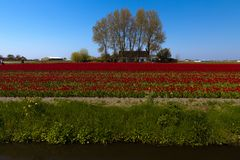 Typical Dutch view of the flat landscape near Amsterdam. Typical Dutch view of the flat landscape during spring with a small stream, field full of tulips and in royalty free stock image