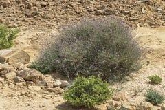 Typical Eilat Mountains Desert Vegetation stock images