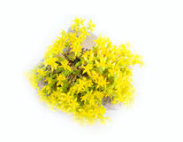 Typical element of rock garden. Succulent (golden blossom) among cobble stones Stock Photography