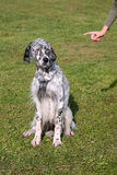 Typical English Setter Stock Photos