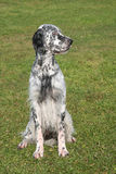 Typical English Setter Royalty Free Stock Photography