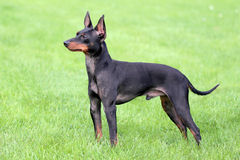 Typical English Toy Terrier on a green grass lawn. Typical English Toy Terrier  in the spring garden Stock Photo