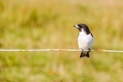 Typical Fijian bird in Mana Island, Fiji Stock Photography