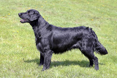 Typical  Flat Coated Retriever in the garden Royalty Free Stock Images