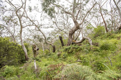 Typical Forest in Otway National Park Royalty Free Stock Photo