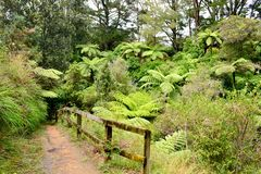 A little path in a rain forest. Fern trees growing on both sides of the path. stock photos
