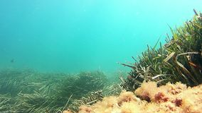 Posidonia seagrass under Mediterranean Sea. Typical forest underwater of Posidonia seaweed in the Mediterranean seabed stock video