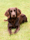 Typical German Spaniel on a green grass lawn Royalty Free Stock Photo