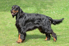 Typical Gordon Setter  on a green grass lawn. Typical  Gordon Setter in the spring garden Royalty Free Stock Photos