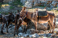Typical greek donkeys with saddle in the mountains royalty free stock photo