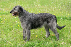 Typical grey Irish Wolfhound Royalty Free Stock Photography