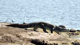 Typical High Walk of Crocodile Royalty Free Stock Photo