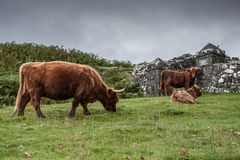 Typical Highlands cattle in Scotland. Highlands brown cattle in Scotland Royalty Free Stock Photo