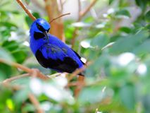 Typical honeycreeper. Purple Honeycreeper standing on a tree branch in an aviary in Butterfly World, South Florida.  The typical honeycreepers (Yellow-legged) Stock Photos