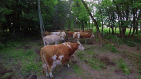 Typical Hungarian cows ruminant stock footage