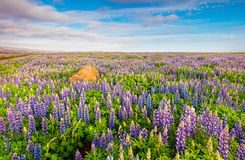 Typical Icelandic landscape with field of blooming lupine flower Stock Photos