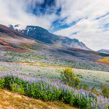 Typical Icelandic landscape with field of blooming lupine flowers in the June. Sunny summer morning in the southern coast of Icela. Nd, Vik village location royalty free stock photos
