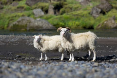 Typical icelandic sheeps standing near the mountain river, Icela Stock Images