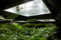 Typical indoor marijuana grow room with lights. Marijuana grow room with a High Pressure Sodium (HPS) light bulb Stock Photo