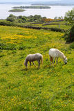 Typical irish Connemara horses Royalty Free Stock Image