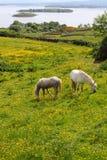 Typical irish Connemara horses. Typical irish horses in Connemara fields , lake Corrib behind. ireland royalty free stock image