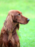 Typical Irish Red Setter in the garden Royalty Free Stock Photography