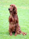 Typical Irish Red Setter in the garden Royalty Free Stock Photos