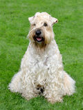 Typical  Irish Soft Coated Wheaten Terrier in the garden Royalty Free Stock Image