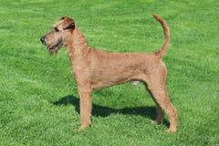 Typical  Irish Terrier in the garden Stock Image