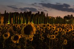 Sunflowers field at dusk with pink sky, Umbria, Italy. royalty free stock photo
