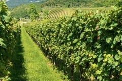 Italian Vineyards - Valpolicella Wine - Verona. Typical Italian red grape vineyards at the base of the hill. Valpolicella Wine - Verona, Italy, Europe stock photography