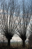 Typical knotted pollard willows in Dutch Royalty Free Stock Photo