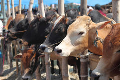 Typical Kurbani Cattle market Stock Photos