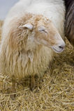 Typical Lacha sheep of Basque Country, Spain Royalty Free Stock Photos