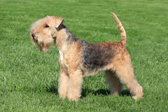 Typical  Lakeland Terrier in the  garden Stock Image