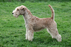Typical  Lakeland Terrier on a green grass lawn Royalty Free Stock Photography