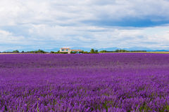 Typical landscape of lavender fields Provence, France Royalty Free Stock Photos