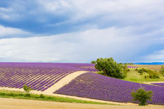 Typical landscape of lavender fields Provence, France Royalty Free Stock Photography