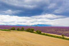 Typical landscape of lavender fields Provence, France Stock Photos