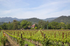 Typical landscape with rows of grapes in the wine growing region of Napa Valley Royalty Free Stock Image