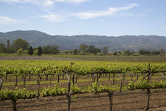 Typical landscape with rows of grapes  in the wine growing region of Napa Valley Stock Photography