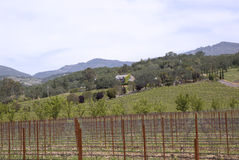 Typical landscape with rows of grapes  in the wine growing region of Napa Valley Stock Image