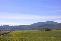 Typical landscape with rows of grapes  in the wine growing region of Napa Valley Royalty Free Stock Photography