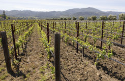Typical landscape with rows of grapes  in the wine growing region of Napa Valley Royalty Free Stock Photos