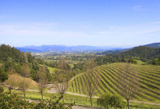 Typical landscape with rows of grapes  in the wine growing region of Napa Valley Royalty Free Stock Photo