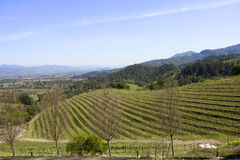 Typical landscape with rows of grapes  in the wine growing region of Napa Valley Stock Photo