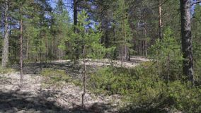Typical landscape within the Siberian taiga. Reindeer moss, pine trees, silence stock video