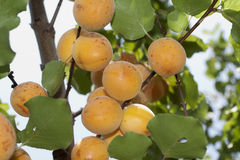 Typical ligurian apricots Royalty Free Stock Photography