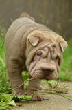 Typical lilac sharpei baby with funny face Royalty Free Stock Photos